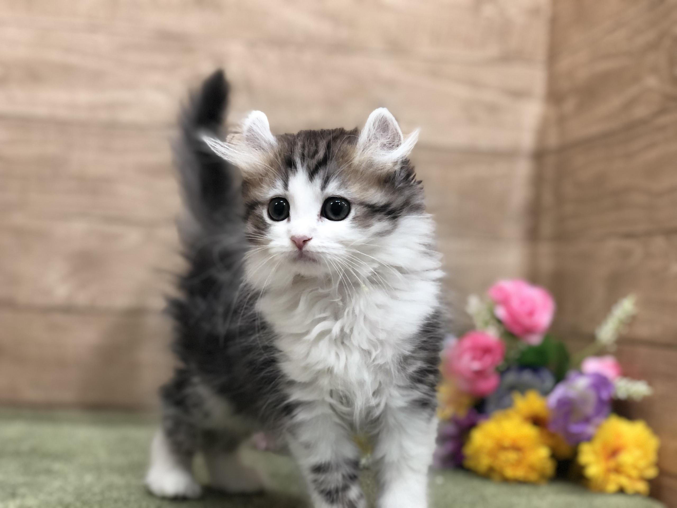 カール アメリカン 人気猫!アメリカンカールの可愛い写真20選まとめ!